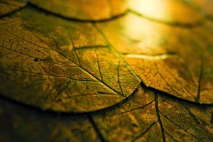 Golden leaves by Mauro Campanelli